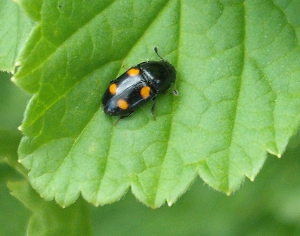 4-spotted Sap Beetle