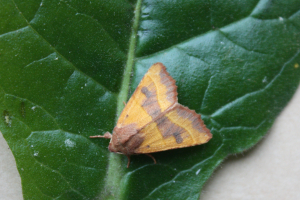 centre barred sallow
