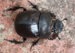 Very large Indian Beetle