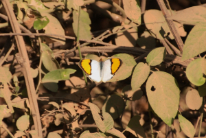 Indian butterfly