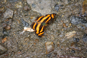 Butterfly in Viet Nam 2