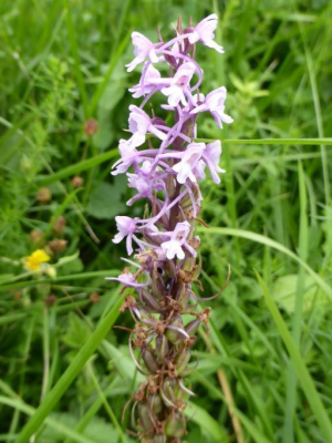 Fragrant orchid?