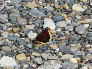 Canada - butterfly 1