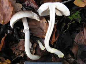 Yellow Stainer