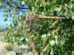 Possible Red-veined Darter