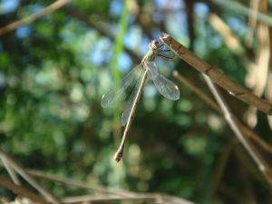 Willow Emerald Damselfly (Lestes viridis)