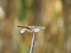 Southern Darter - Sympetrum meridionale