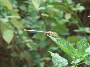 White Featherleg (female)