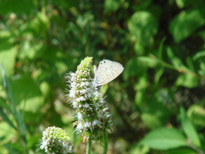 Long-tailed Blue - Lampides boeticus 02-08-2012 14-29-40