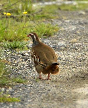 Red Partridge