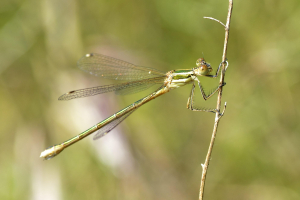 Migrant Spreadwing - Lestes barbarus