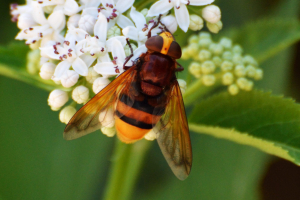 Hornet Mimic Hoverfly (Volucella zonaria)