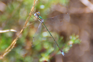 Migrant Spreadwing male