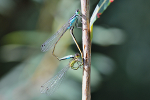 Common Bluetail m + f
