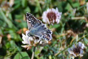 Oberthur's Grizzled Skipper
