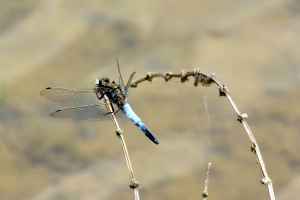 Black-tailed Skimmer m (Orthetrum cancellatum) 2