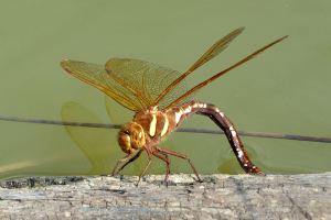 Brown Hawker f ovipositing