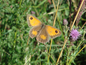 Gatekeeper or Hedge Brown