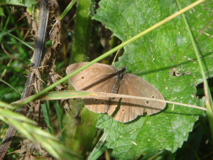 Possible Ringlet