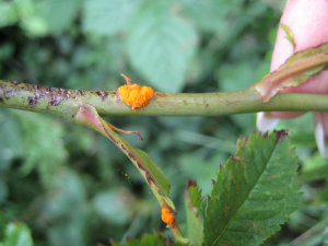 Fungal gall on rose
