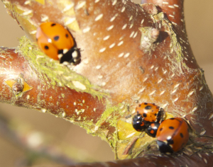 What's the third ladybird?