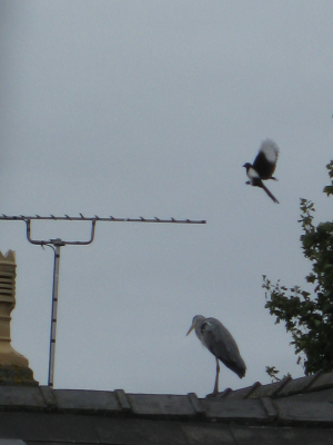 Heron and magpie