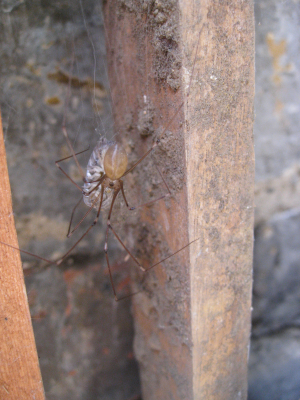 Spindly spider with woodlouse