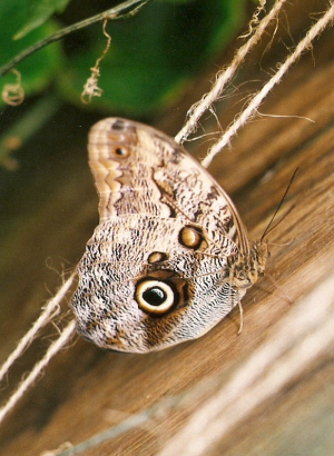 Grey brown butterfly