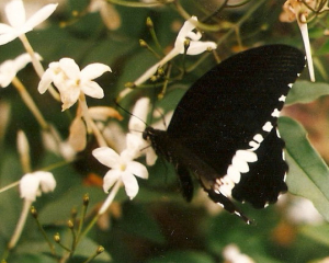 Black butterfly on jasmine