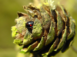 Pair of black ladybugs on a Japanese Larch