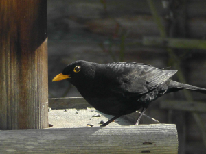 Blackbird in the sunshine