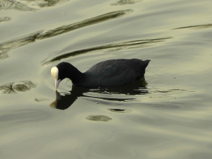 Coots reflecting on nest sites