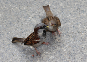 Harassed daddy sparrow & chicks