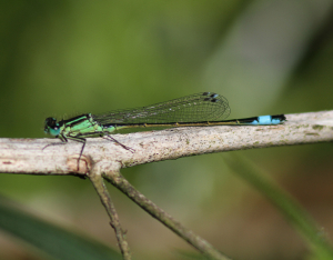 Damselfly sp?