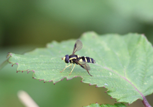 Hoverfly sp?