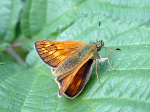 Large Skipper Butterfly in Tamworth