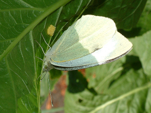 Large White butterfly with eggs