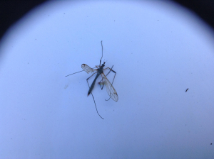 unknown tipula sp