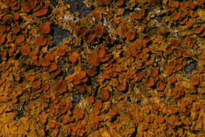 Bright Orange Lichen