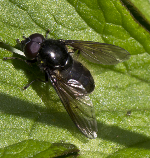 Black Hoverfly