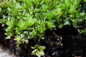 Moss in garden with developing capsules