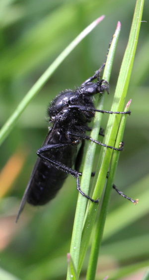 Large Black Insect