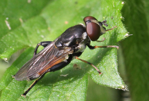 Fly, Possibly Hover with large black femurs on hind legs.