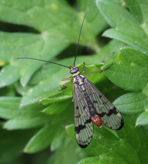Scorpion Flies