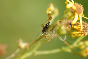 Larva on Ragwort