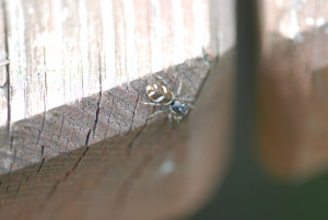 spider with white markings