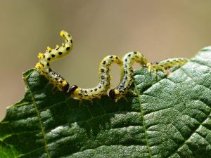 Sawfly larvae on Hazel leaf