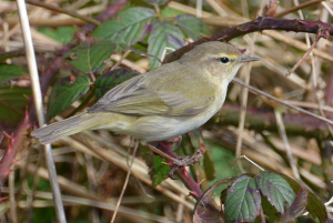 Chiffchaff or Willow Warbler