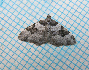 A Carpet Moth
