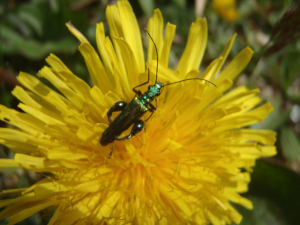 Beetle on Dandelion flower